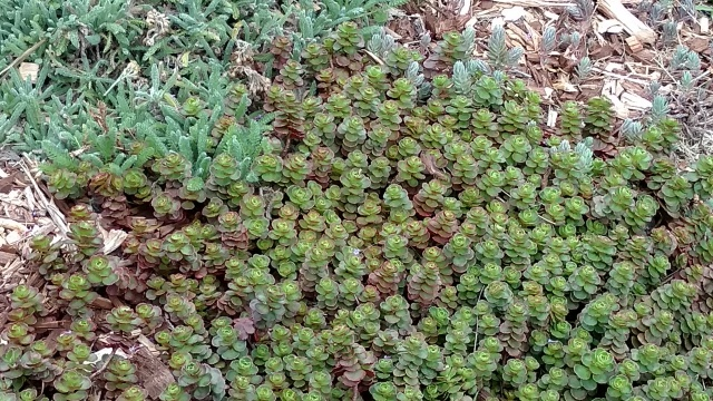3 S. spurium ' JC'May 16