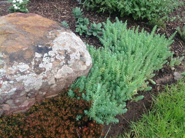 4 Sedum rupestre 'Blue Spruce'May 17