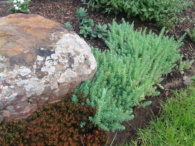 4 Sedum rupestre 'Blue Spruce'May 17