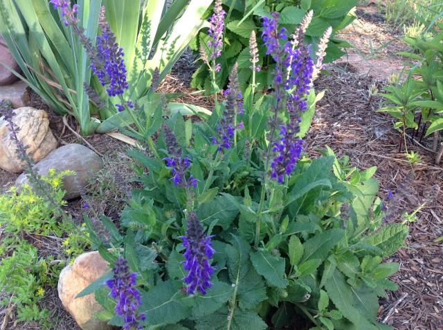 5 purple salvia may 25