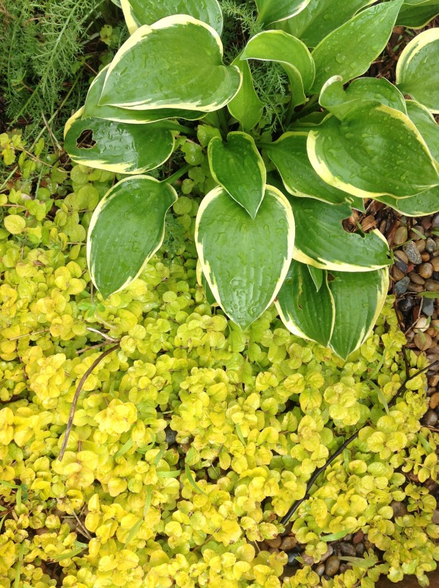 hosta and creeping jenny May 9th.jpg