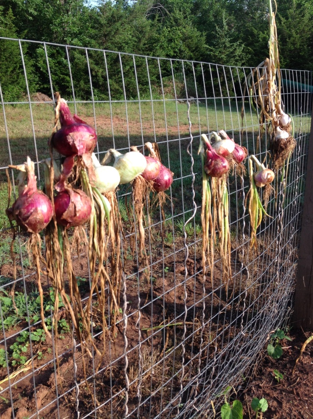 1 onion harvest June 4
